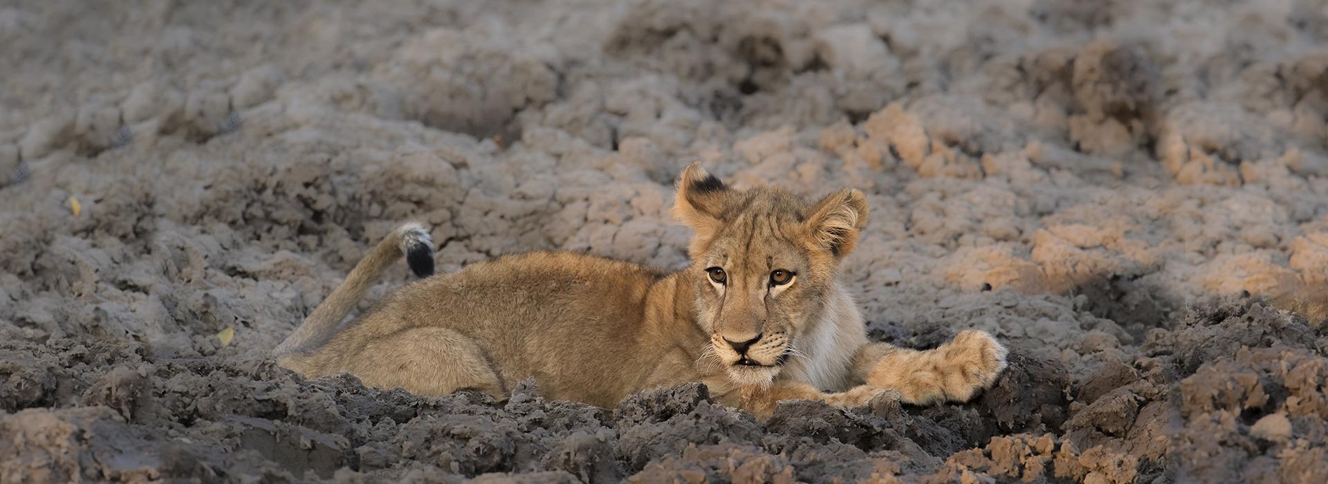 Lion cub Zambia EN