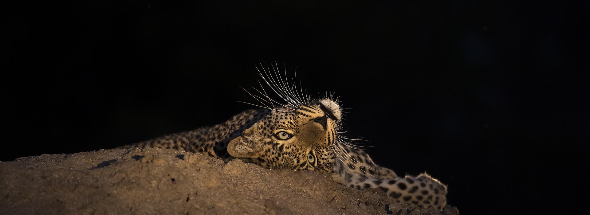 Geeuwend luipaard